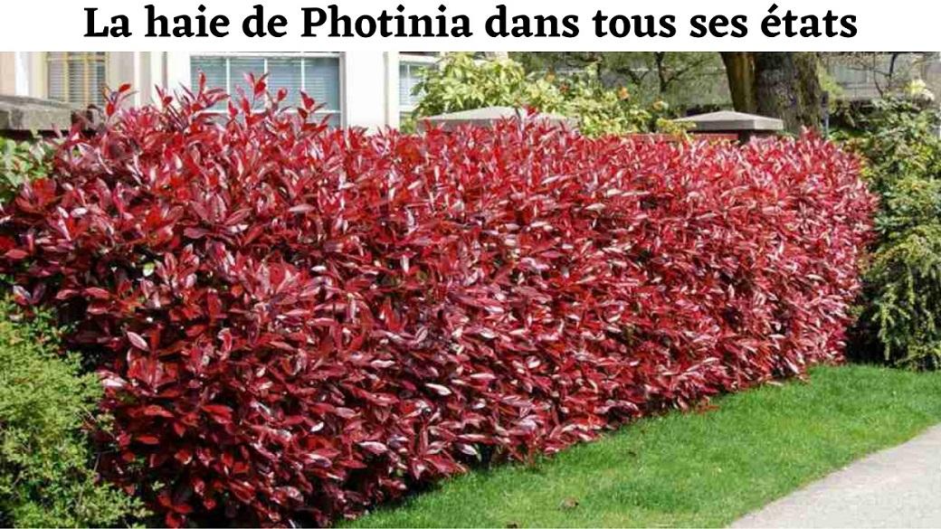 haie de Photinia