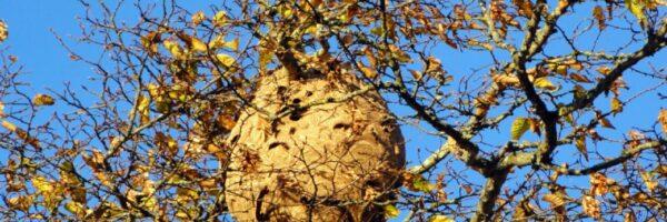 Comment savoir si on a un nid de frelon et comment s'en débarrasser ?